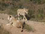 Female lions, safari