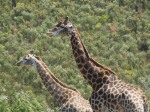 Giraffes, safari